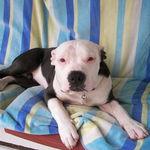 Daniels Dog Blue as a puppy
