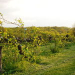 Darrells vineyard, second year, 2011