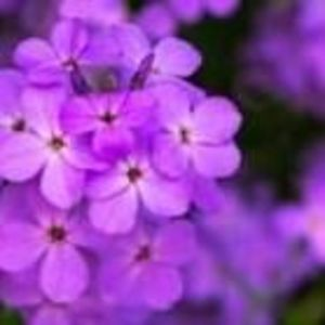 Violet Dusza