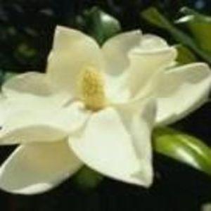 Magnolia L. Pendergrass