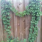 Virginia Creeper vine that just grew into a heart on my fence.